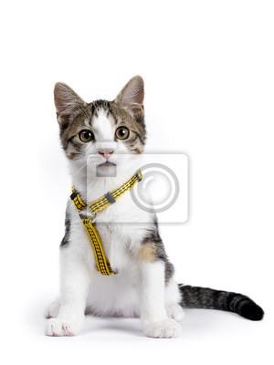Europäische shorthair Kätzchen / Katze sitzt auf weißem Hintergrund trägt gelbe Harnas