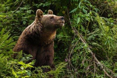 Bild Europäischer Braunbär
