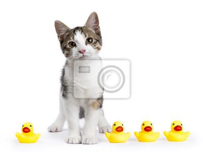 Europäisches Shorthair Kätzchen auf weißem Hintergrund mit gelben Gummi-Enten