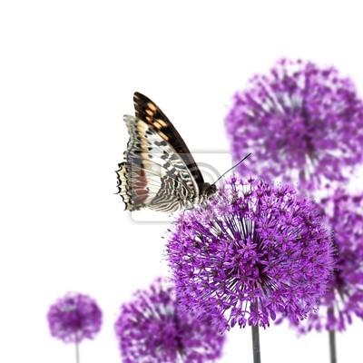 Exotische Schmetterling auf Blüten Allium