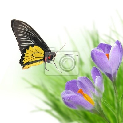 Bild Exotische Schmetterling auf Krokusblüten