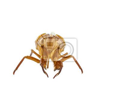 Exuviae der Zikade isoliert auf weißem Hintergrund