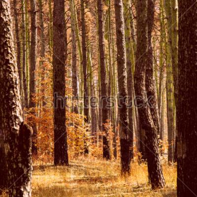Bild fantastischer goldener herbst im kiefernwald leuchtend orange pflanzenstämme von hohen bäumen sauber und niemand um die schönheit unserer welt