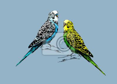 Farbige Zeichnung von zwei Wellensittiche. Vektor-Illustration