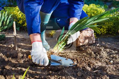 Farmer Hände Einpflanzen einer Iris