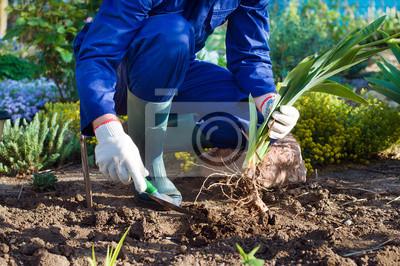 Farmer Hände Einpflanzen einer Iris mit Schaufel