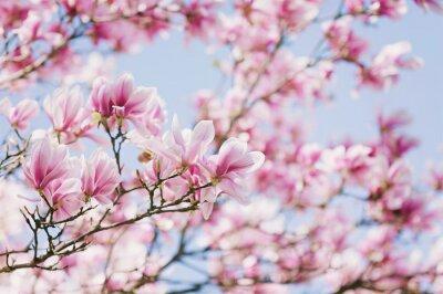 Bild Feder! Blühende Magnolie