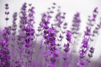 Bild Feld Lavendelblüten