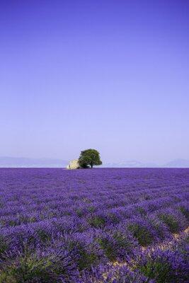 Bild Felder der blühenden Lavendelblüten mit alten Bauernhaus - Provence, Frankreich