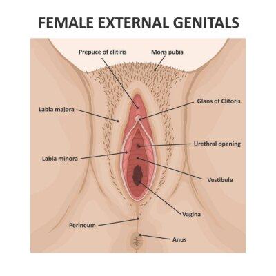 Bilder offene vagina Vagina Bilder