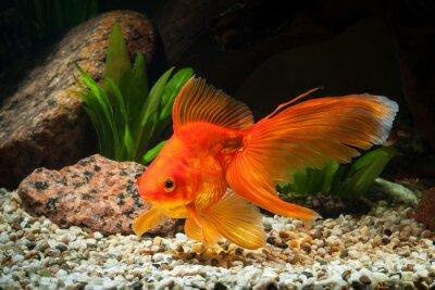 Bild Fisch. Goldfish im Aquarium mit grünen Pflanzen und Steine