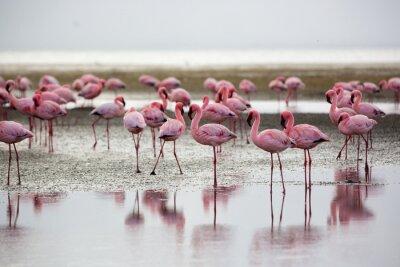 Bild Flamingos in Wallis Bay, Namibia, Africa