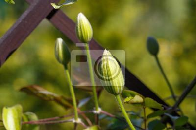 Bild Flower buds of white clematis in the spring garden. Bush of white clematis.