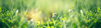 Bild Flowering clover in meadow, spring grass and clover flower lit by sunlight in spring