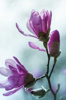 Bild Flowering pink magnolia