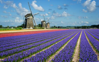 Bild Flowers and windmills in Holland