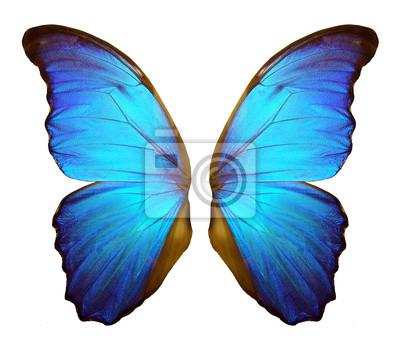 Bild Flügel eines Schmetterlinges Morpho. Morpho-Schmetterlingsflügel lokalisiert auf einem weißen Hintergrund.