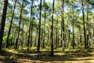 Bild Forêt landaise
