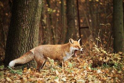 Bild Fox auf Herbst Wald