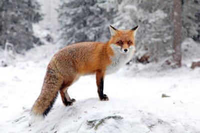 Bild Fox im Wald am Hohen Tatra, Slowakei