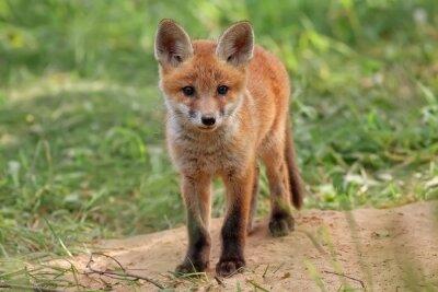 Bild Fox in freier Wildbahn