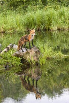 Bild Fox mit Reflektion in einem ruhigen See