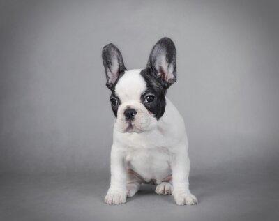 Bild French Bulldog puppy