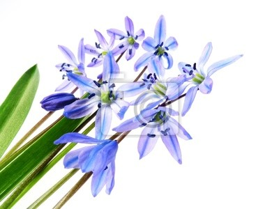 Bild Frühling Blumen scilla