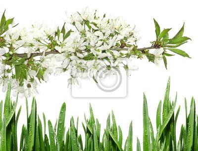 Bild Frühlingskirsche blüht isoliert