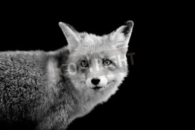 Bild Fuchs auf dunklem Hintergrund. Schwarz-Weiß-Bild