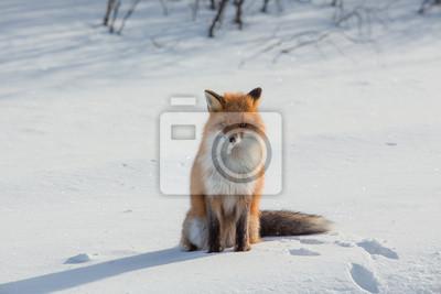 Fuchs Auf Schnee Im Winter Leinwandbilder Bilder Vulpes Rotfuchs