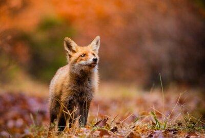 Bild Fuchs (Vulpes Vulpes) in Europa Wald