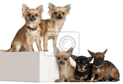 Bild Fünf Chihuahuas, 1 Jahr alt, vor weißem Hintergrund