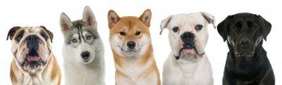 Bild Fünf reinrassige Hunde