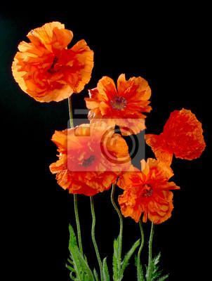 Bild fünf rote Mohnblumen auf schwarzem