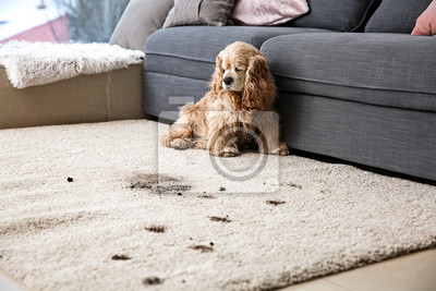 Bild Funny dog and its dirty trails on carpet