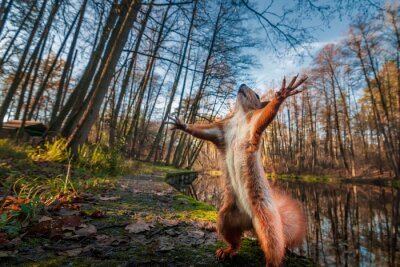 Bild Funny red squirrell standing in the forest like Master of the Universe.