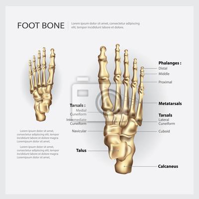 Fuß knochen vektor-illustration leinwandbilder • bilder Keilschrift ...