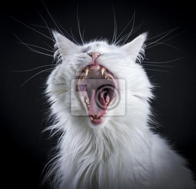 Gähnende weiße Katze