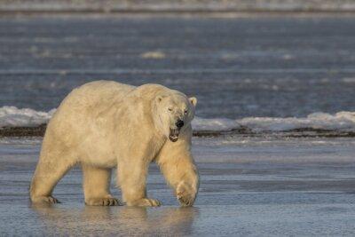 Bild Gähnender Eisbär, der auf Eis geht