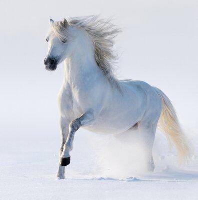 Bild Galopp schneeweißen Pferd
