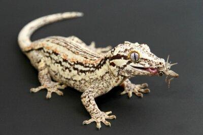 Bild Gargoyle Gecko Essen