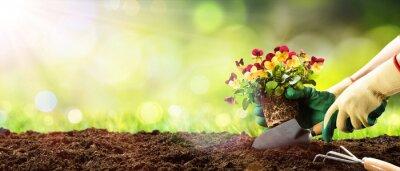 Bild Gartenarbeit - Pflanzung einer Pansy im sonnigen Garten