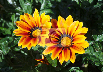 Gazania Blumen Garten Hell Sonne Licht Blüte Leinwandbilder Bilder