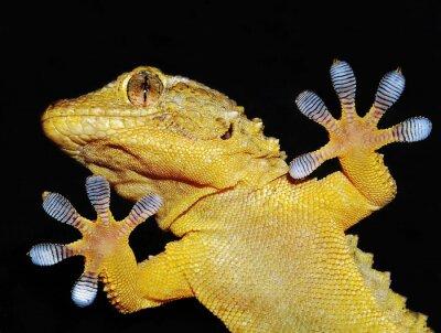 Bild geco mostra che le sue zampe Adesive