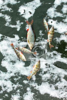 Gefangener Fisch liegt auf Eis im Schnee.