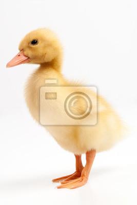 Gelbe Ente