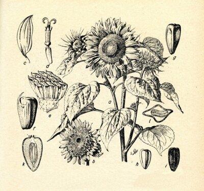 Bild Gemeinsame Sonnenblume (Helianthus annuus)