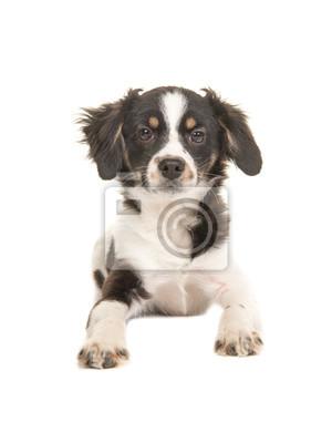 Gemischte Rasse Niedlichen Schwarz Weiß Welpen Hund Mit Blick