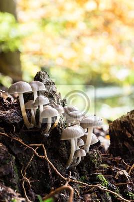 Gesäter Tintling, Coprinus disseminatus im Herbst
